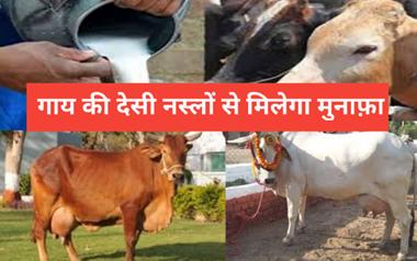 Dairy Farming Business के लिए गाय की इन देसी नस्लों का करें पालन, जानिए दूध उत्पादन की क्षमता