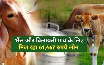 जानिए क्या है Kisan Credit Limit Scheme जिसके तहत भैंस और विलायती गाय के लिए 61,467 रुपये मिलता है लोन