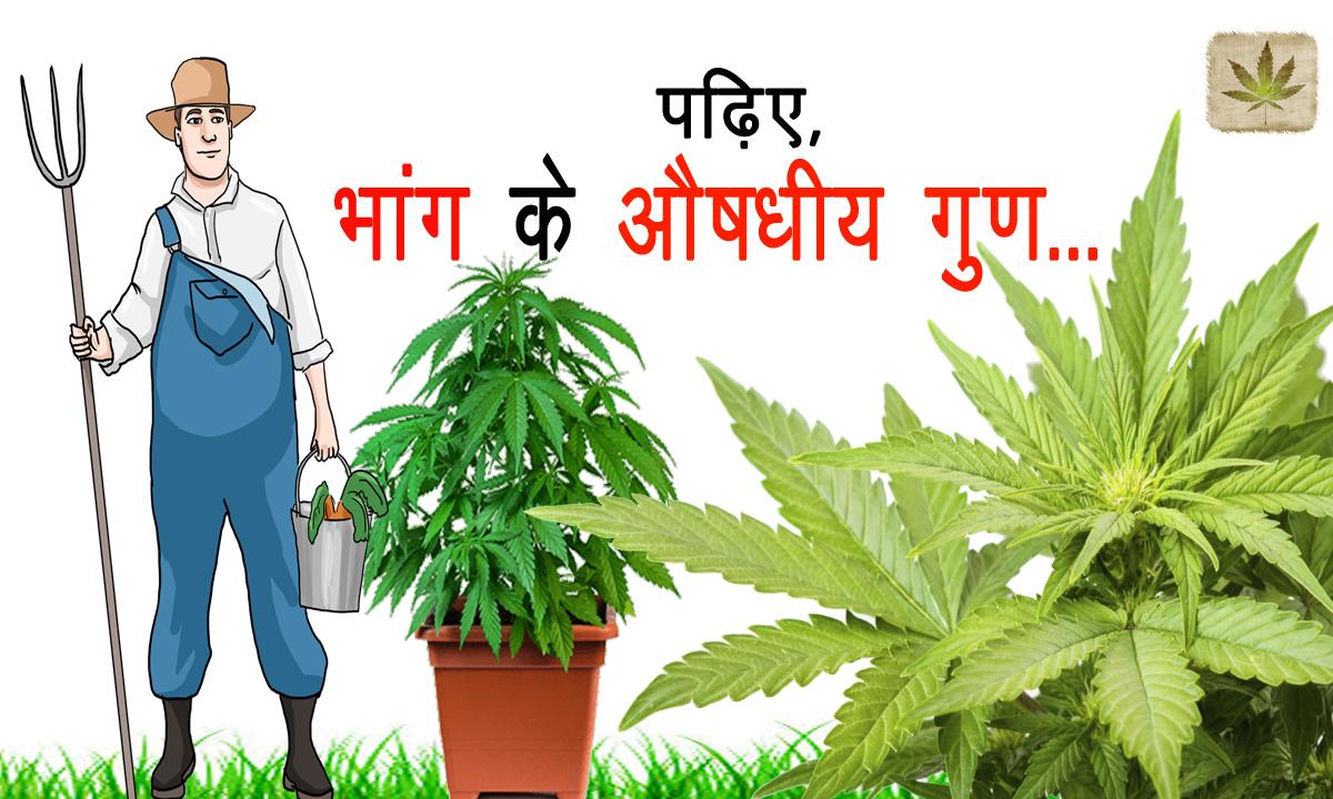 Bhang benefits
