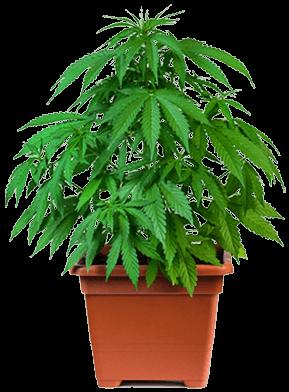 Cannabis fertilizers