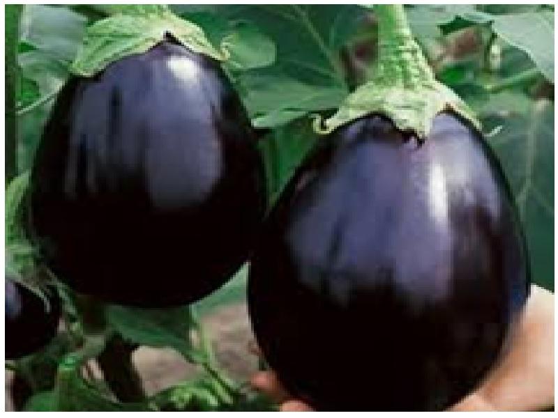 Brinjal Black