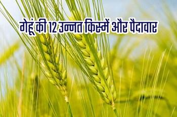 गेहूं की खेती करने का सही समय, उपयुक्त जलवायु, किस्में और पैदावार