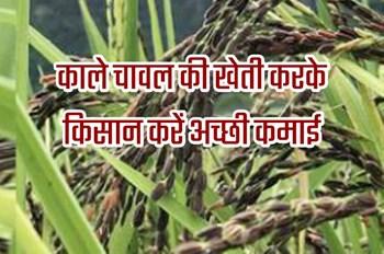 काले चावल की खेती करके करें अच्छी कमाई, औषधीय गुणों से होती है भरपूर