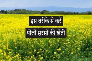 पीली सरसों की खेती कर किसान भाई कर सकते हैं अच्छी कमाई, बस अपनाना होगा ये तरीका