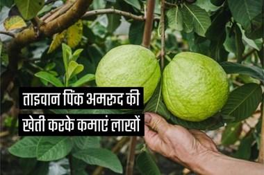 ताइवान पिंक अमरूद की खेती करके कमाएं लाखों, महज 1 साल में आने लगते हैं फल