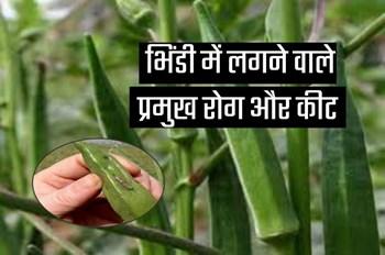 भिंडी की फसल को इन प्रमुख रोग और कीट से बचाना है जरूरी, ऐसे करें रोकथाम