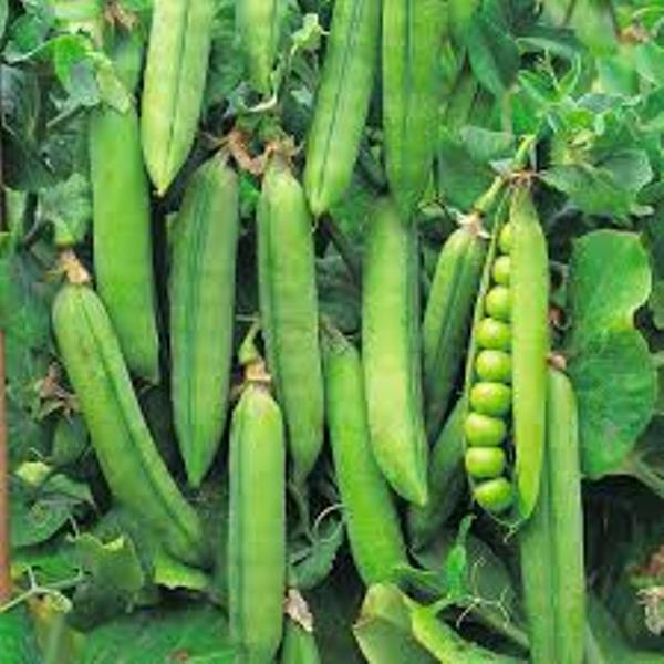 Sowing of early Varieties