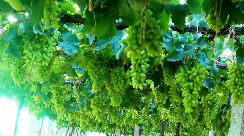 Grapes Farming