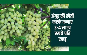 एक एकड़ में अंगूर की खेती करके कमाए 3-4 लाख रुपये, ऐसे करें खेती