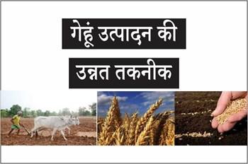 अक्टूबर से गेहूं की खेती का सही समय, बुवाई से लेकर कटाई तक रखें इन बातों का ध्यान