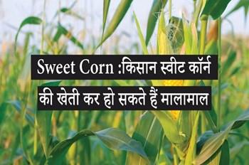 Sweet Corn: किसान स्वीट कॉर्न की खेती कर हो सकते हैं मालामाल