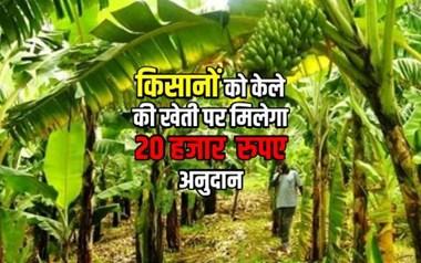 केले की खेती पर पाएं प्रति एकड़ 20 हजार  रुपए का अनुदान