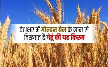 डिमांड के बाद भी शरबती गेहूं की खेती से क्यों घट रहा है किसानों का रुझान, ये हैं बड़ी वजह