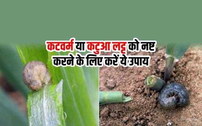 प्याज की फसल में कटुआ सूँडी या कटवर्म को कैसे पहचाने और नष्ट करें