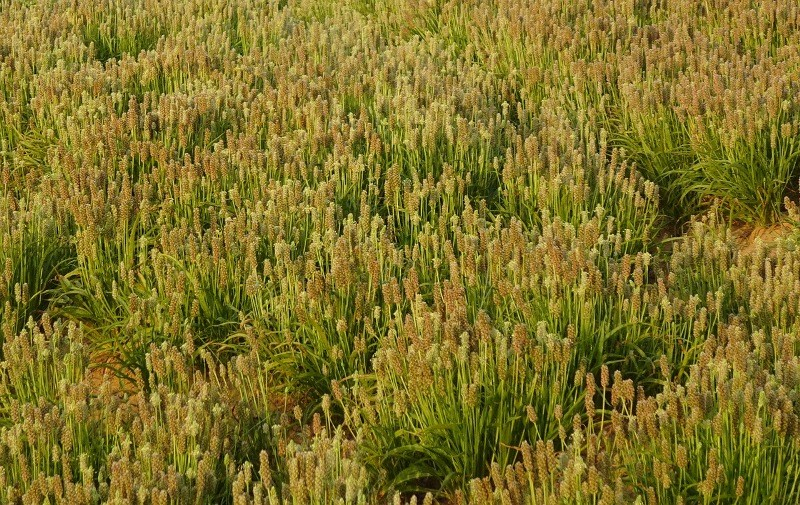 Isabgol cultivation