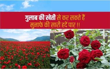 Rose Farming: आप भी गुलाब की खेती से कर सकते हैं मुनाफे की सारी हदें पार!!