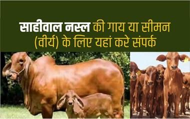भारत में सबसे ज्यादा दूध देने वाली गाय कौनसी है, नस्ल की पहचान और विशेषताओं की जांच कैसे करें?