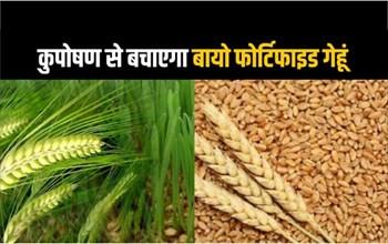 Wheat Farming: गेहूं की इस किस्म से कुपोषण होगा खत्म, उत्पादन पर 9 प्रतिशत ज्यादा, जानिए कहां से मिलेगा बीज?
