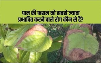 Diseases in betel crop:पान की फसल में लगने वाले 5 प्रमुख रोग, इन रोगों से बचाव के क्या हैं उपाय?