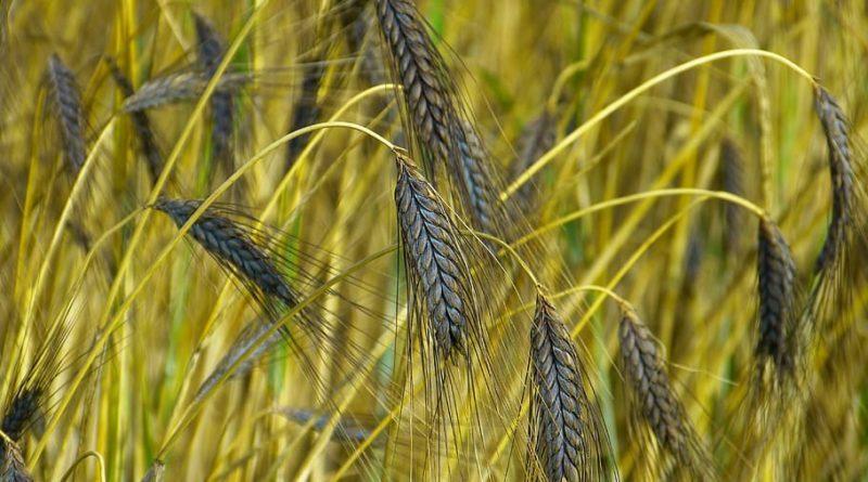 blackwheat