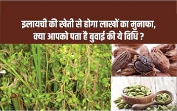 Cardamom cultivation: इलायची की खेती से होगी छप्परफाड़ कमाई, बस तरीका जान लीजिए