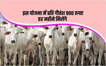 आवारा पशुओं को पालने पर सरकार देगी आर्थिक मदद, 900रुपए प्रति गौवंश मिलेंगे
