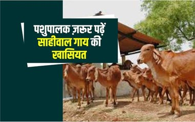 70 से 75 हजार रुपए में खरीदें साहीवाल गाय, दूध की कभी नहीं होगी कमी