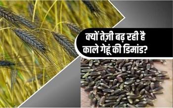 Black Wheat: काले गेहूं के बीज को हाई रेट पर बेच रहे हैं किसान, क्या है वजह जानिए