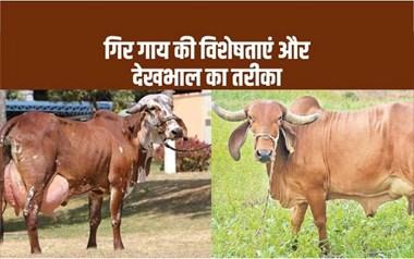 रोजाना 12 लीटर से ज्यादा दूध देने वाली गिर गाय की देखभाल कैसे करें ?