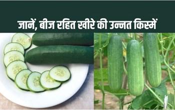 खीरा की खेती और इसके फायदे