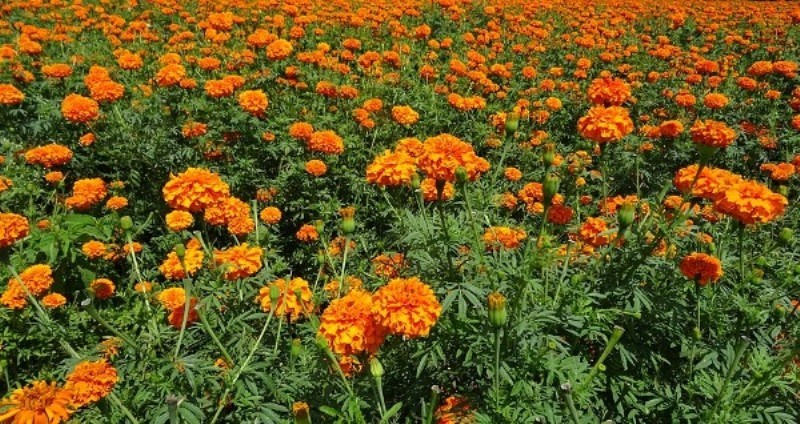 Marigold flower Cultivation
