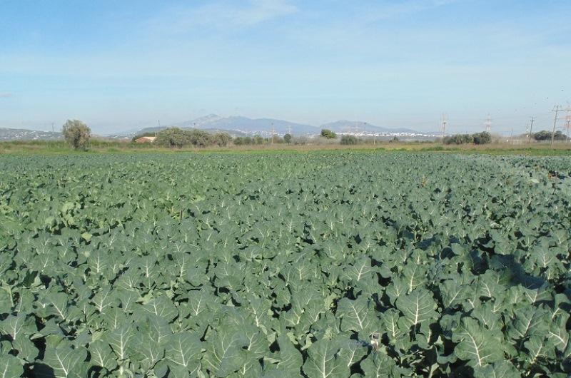 Commercial Broccoli Farming