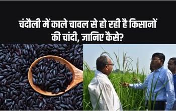 चंदौली में काले चावल से हुआ किसानों को बंपर मुनाफा, पीएम मोदी तक गई बात