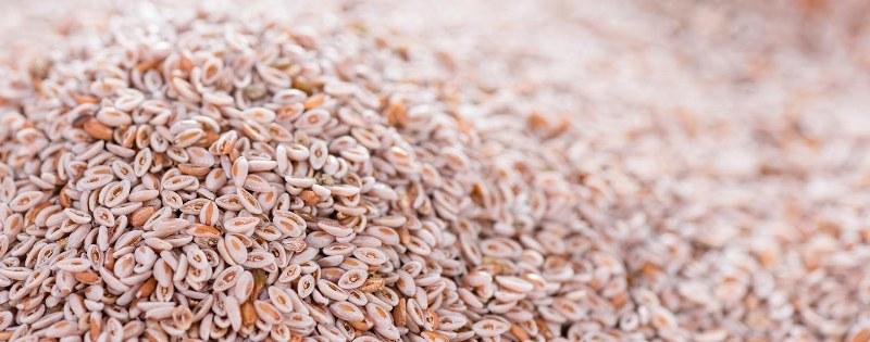 Isabgol seed