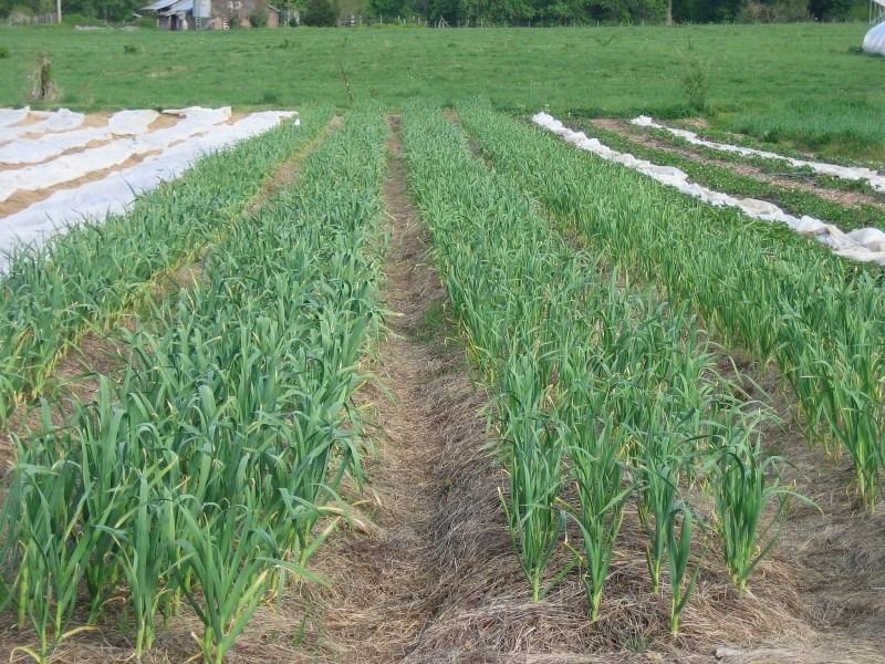 Garlic beds