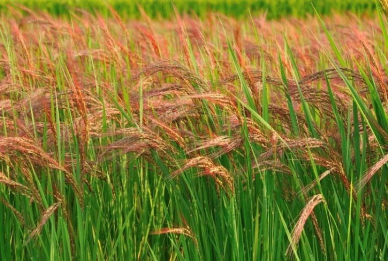 Red Rice Farming