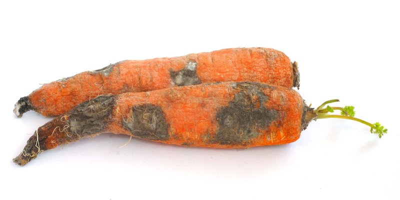 Bacterial Soft Rot of Carrot