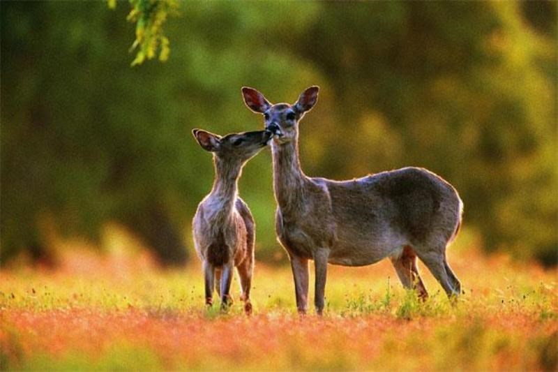 musk deer and facts