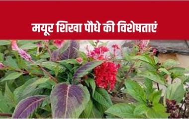 Mayur Shikha Plant: मोर की शिखा जैसा दिखाई देता है ये पौधा, जानिए इसके चमत्कारी फायदे