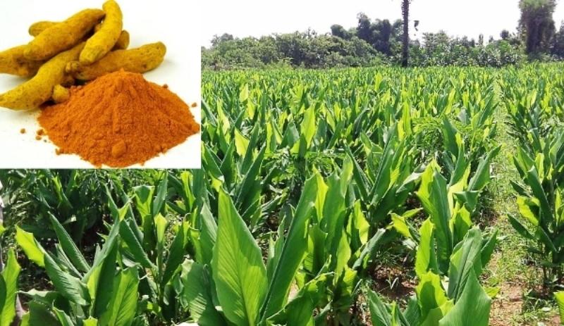 Turmeric Cultivation