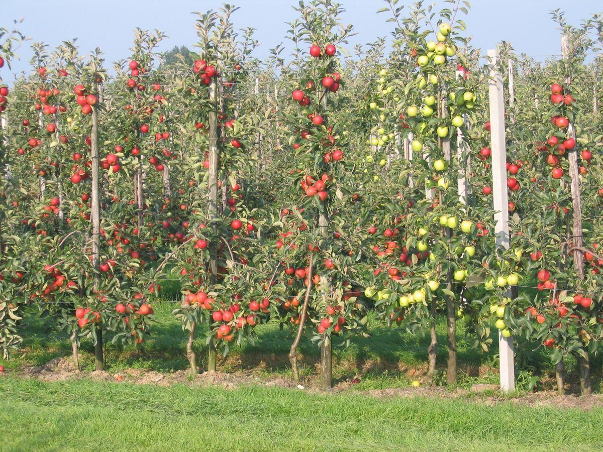 Apple Pruning