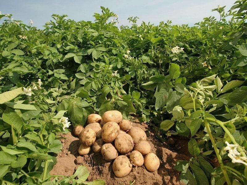 Potato Cultivation