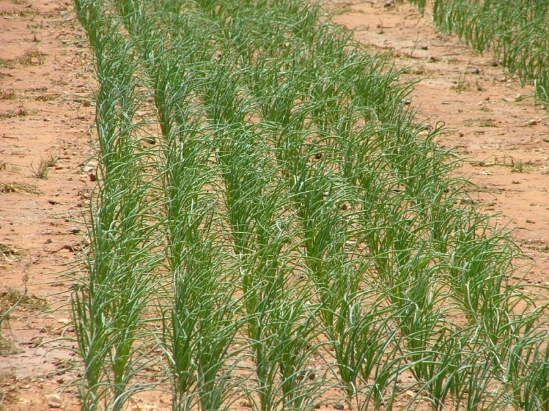 Effective weed control in Onion crop