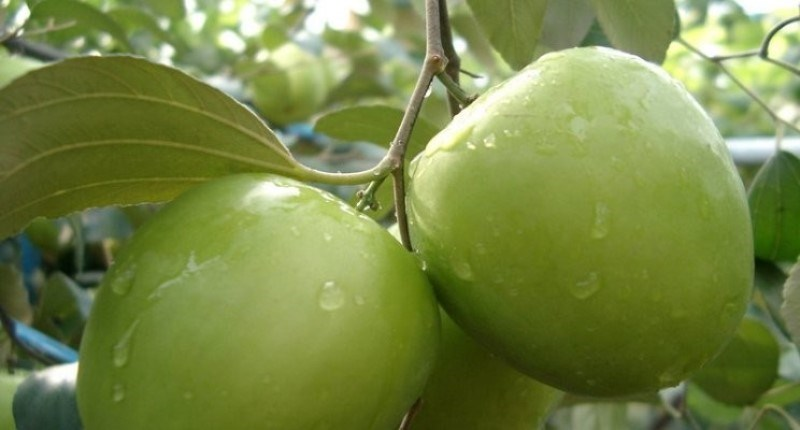 Ber fruit