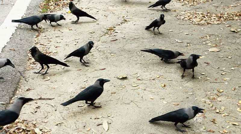 Crow death in Rajasthan