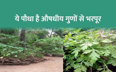 कुणजा पौधा (Kunja Plant) औषधीय गुणों की खान, मंहगा बिकता है इसका तेल