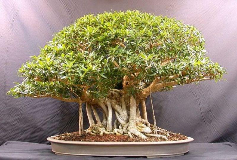 Bonsai Plant Business