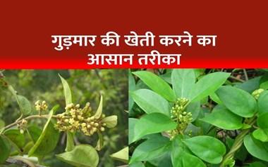 फरवरी-मार्च में उगा सकते हैं गुड़मार का पौधा, पढ़िए इसकी खेती का तरीका