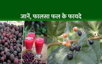 Phalsa Fruit Benefits: फालसा फल के सेवन से होगा कई बीमारियों का रामबाण इलाज, पढ़िए इसके फायदे