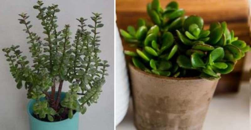 Jade Plant For Money